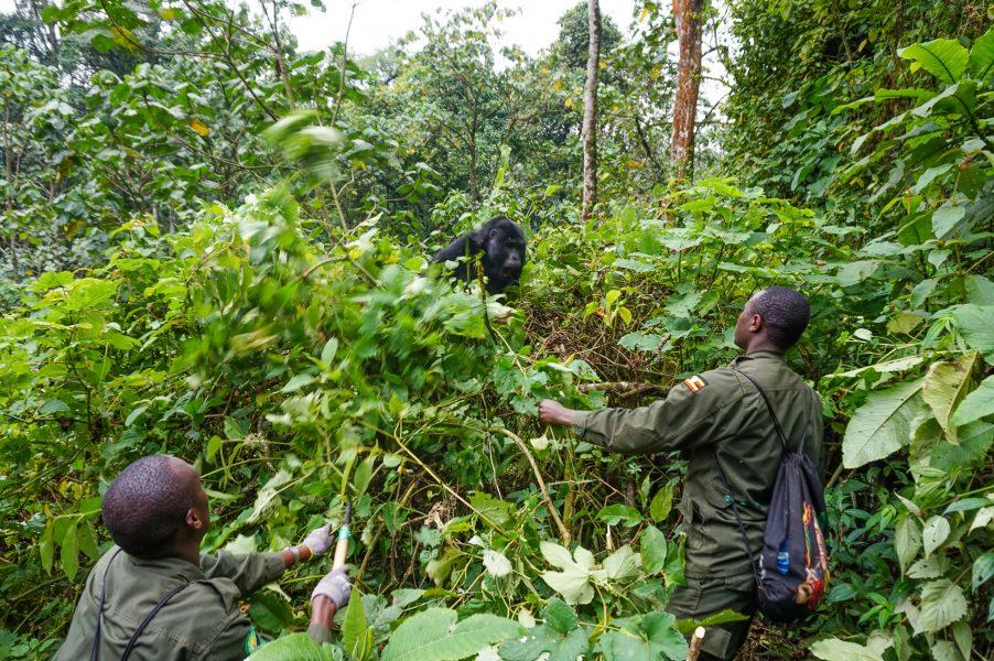 Rangers and Gorillas