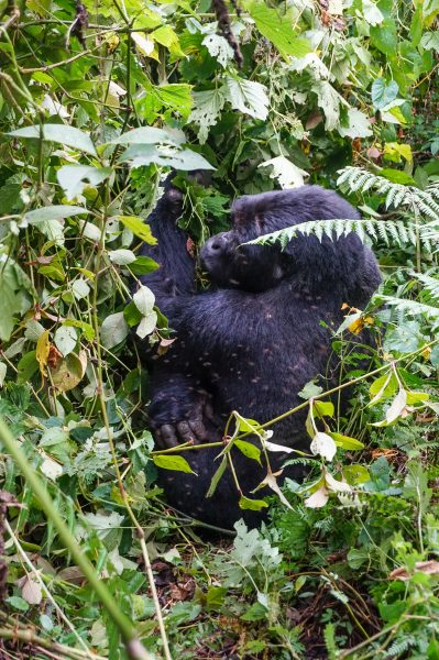 Fun Facts Mountain Gorillas