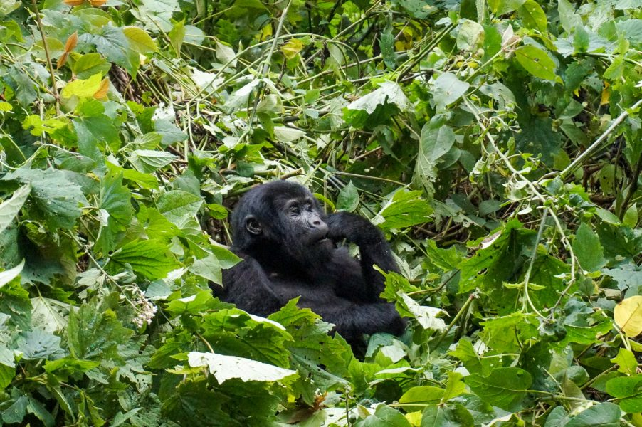 Trekking with Gorillas