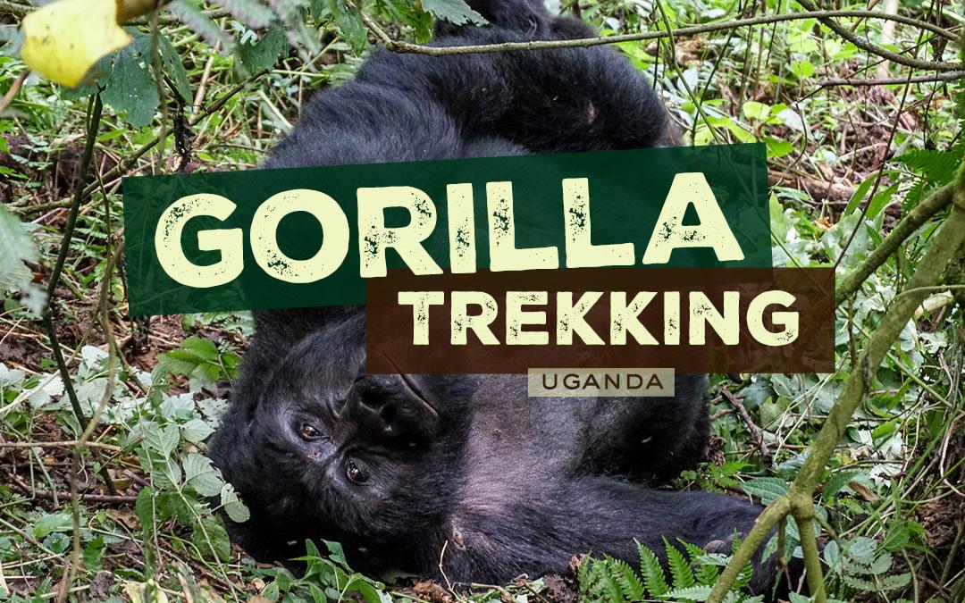 Gorilla Trekking in Bwindi Impenetrable National Park, Uganda