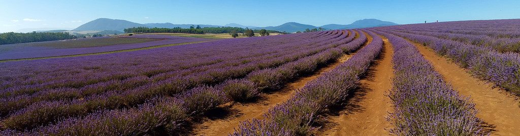Bridestowe Lavender Estate by Georgie Sharp