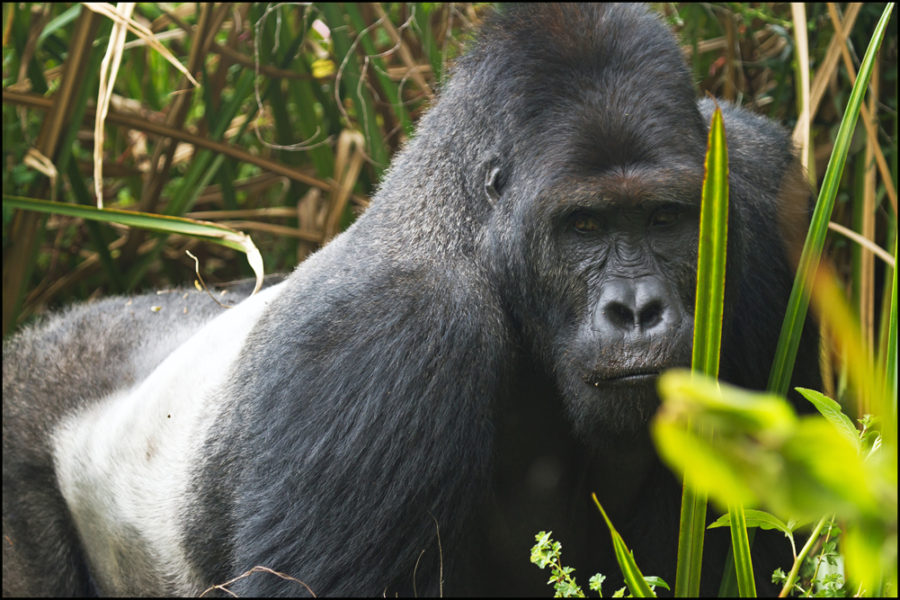 Spotting Lowland gorillas in Kahuzi-Biega National Park