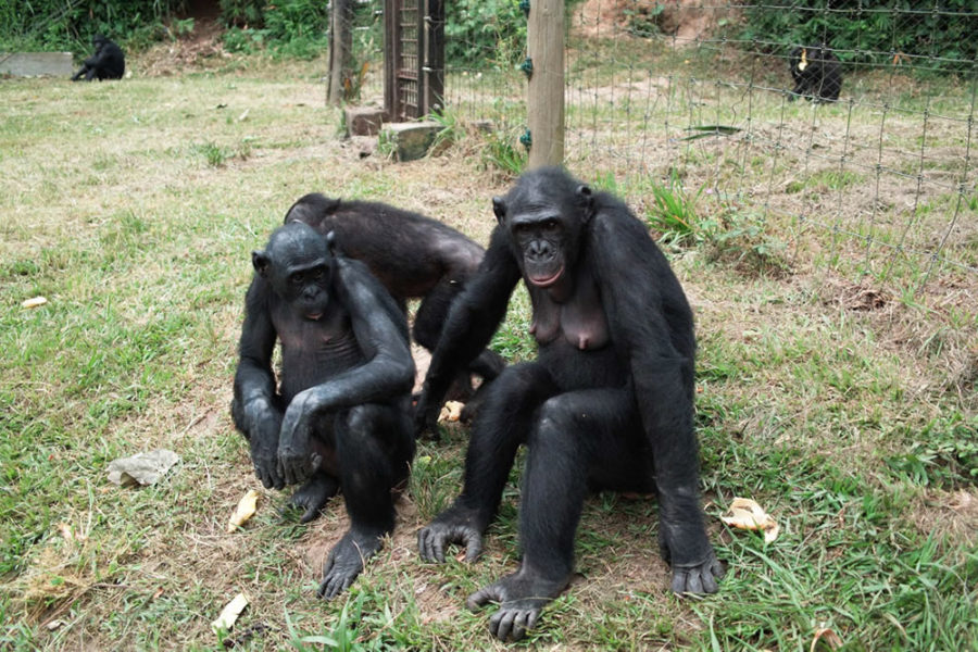 Visiting the Lola Ya Bonobo Sanctuary in Kinshasa